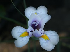 iris (Lyubov) Tags: flowers iris fantasticflower
