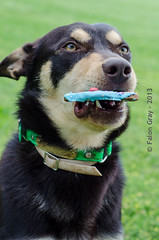 Limit 1 Year Old 05-09-2013-13 (falon_167) Tags: dog australian limit kelpie australiankelpie