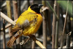 Tecelo-de-cabea-preta, Black-headed Weaver (Ploceus melanocephalus) (Jos Diogo 58) Tags: