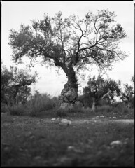 Elaiwa (Olive tree) (Chris Tsanis) Tags: life bw tree mamiya nature analog landscape mediterranean earth olive greece oil f28 habits rz67 110mm peloponisos aigio achaia