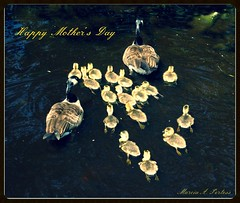 Happy Mother's Day!! (Marcia Portess) Tags: canada birds geese wildlife parks goslings aviary stanleypark vancouverbc lostlagoon waterways babybirds mothergoose happymothersday 16goslings marciaportess marciaaportess twogeesegoslings