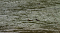 """Harlequin Ducks • <a style=""""font-size:0.8em;"""" href=""""http://www.flickr.com/photos/63501323@N07/8733256159/"""" target=""""_blank"""">View on Flickr</a>"""