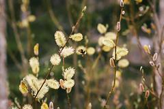 Salix (Vesa Nikkanen) Tags: spring bee salix project365 vscofilm
