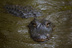 Ol' Golden Eyes (Jeff Dyck) Tags: alligator american swamp corkscrew sanctuary americanalligator alligatormississippiensis corkscrewswamp jeffdyck