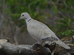 Eurasian Collared Dove (colorob) Tags: colorado littleton streptopeliadecaocto coloradowildlife colorob nikond800e eurasiacollareddove