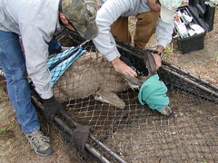 Klamath Tribes Mule Deer Research (USFWS Pacific) Tags: conservation research muledeer preservation southernoregon twg wildliferefuges klamathtribes habitatuse
