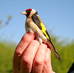 Goldfinch (m) No2 (Trev Earl) Tags: canon wildlife buckinghamshire 5d wendover wildbird 2013365dayphotochallenge