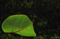 Sea grape leaf (angelinejovan) Tags: flower flora grenada caribbean carriacou