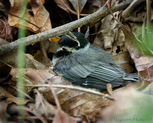 Carolina Chickadee Fledgling