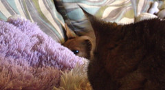 "Catnap and Kisses ""Film still"" (C Merry) Tags: dog cat kissing kitty romance catnap cutedog naptime cutecat rescuedog lolcat handicappeddog loldog interspeciesfriendship deathrowdog"