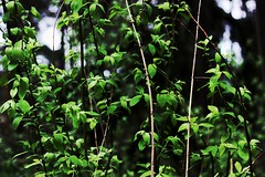 3 (orrissanen) Tags: flowers light green nature colors beauty spring may leafs karkkila