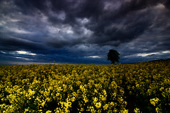 Der Baum im Rapsfeld / The tree in the canola field (Alex Esseling) Tags: sunset field clouds germany deutschland dusk wolken gttingen niedersachsen lowersaxony geismar kleinlengden