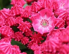 (Julia TortoiseHugger) Tags: pink flower yard washington wa bud laurel goldbar kalmia friendlychallenges