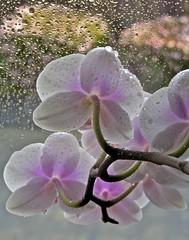Droplets (mar-itz) Tags: orchid flower color water rain agua flor drop droplet orquidea gota rocio