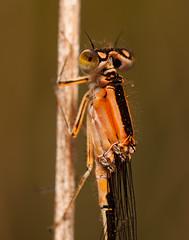 naranja femenino (Santi BF) Tags: macro closeup bug insect bicho insecte caballito insecto odonata ischnura aproximacin odonato espiadimonis zigoptera zigptero ishnuragraelsii