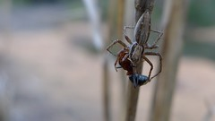 spider with ant (John Tann) Tags: australia september nsw 2012 geo:country=australia heathcotenationalpark