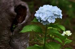 hole -  (turntable00000) Tags: flower tree japan garden photography tokyo hole sony hydrangea 365   hino takashi nex    kitajima   mogusa turntable00000