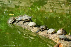 cotswold wildlife park(terrapins) (gmj49) Tags: water sony oxfordshire terrapins cotswoldwildlifepark gmj a350