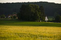Fields of gold N4 (Bernhard_Thum) Tags: nature field natur feld franken carlzeiss zf2 gsweinstein nikond800e aposonnart2135 bernhardthum