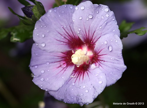 Lilac Coloured Hibiscus