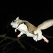 2nd Place - Published Images -  John Thornton - Flying Squirrel