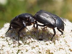 Protaetia (Netocia) morio (Fabricius 1781) (Peter M Greenwood) Tags: coleoptera morio protaetia scarabaeoidea cetoniidae netocia protaetiamorio protaetianetociamorio