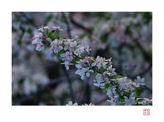 Cherry /  (heritagefutures) Tags: flower lens cherry 1930s nikon bokeh f45 sakura medium format konica dslr trial largeformat sensor hexar d300  apsc rokuohsha 21cm konishiroku