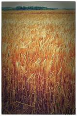 Corn Field (Tim Hall Landscapes) Tags: summer field yellow landscape gold golden pentax grain stonehenge handheld salisbury 1855mm vignette woodhenge uvfilter landscapeportfolio colorefex niksoftware k20d kingsbarrowridge brilliancewarmth detailextractor imageborders filmefexnostalgic