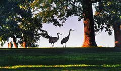 Sandhill Cranes In Epic Oak Grove >> The World S Best Photos Of Epicsystems And Verona Flickr Hive Mind