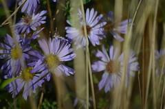 michaelmas daisies (focallocus) Tags: uk light plants nature garden ian nikon availablelight sooc d5100 focallocus