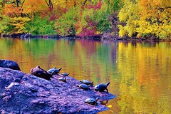 Central Park-The Pond, 11.02.13 (gigi_nyc) Tags: nyc newyorkcity autumn leaves centralpark autumnleaves autumncolors fallfoliage thepond leafpeeping thisisnewyorkcity
