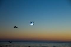 IMG_0152 (xbirdo) Tags: california sunset santacruz west birds northerncalifornia seagull
