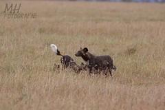 5D3_7098-Flickr (DocMac71) Tags: wild dog african afrikanischer wildhund
