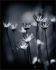 restes (koulapik) Tags: macro bretagne nb bzh finistère fleursetplantes flickraward blinkagain bestofblinkwinners blinksuperstars bestofsuperstars blink4gallery