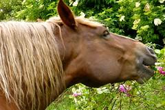 la jument qui mange les roses (Marie Jestin) Tags: horse france nature animals cheval brittany mare bretagne natura breton chevaux drafthorse finistère jument postier chevalbreton simplysuperb vividstriking blinkagain bestofblinkwinners rememberthatmomentlevel1 rememberthatmomentlevel2