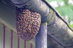 Poke at your Peril! (oawisbrill) Tags: building bees gutter bengal swarm bungalow