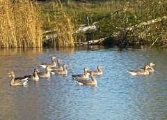 Untitled (Fijgje On/Off) Tags: bird reed water vogels goose ganzen riet vogel greylaggoose grauweganzen watervogel fijgje anseanser panasonicdmctz30 dec2013