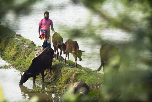 A man with livestock in Khulna, Bangladesh. Photo by Felix Clay/Duckrabbit.