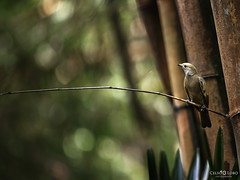 Pasarinho na selva (www.celsolobo.com) Tags: bird amazon museu selva passarinho amaznia museuemiliogoeldi