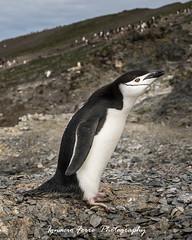 Curious (Ignacio Ferre) Tags: bird penguin antarctica pingino antrtida chinstrappenguin pinginobarbijo pygoscelisantarticus