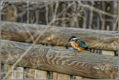 Martin Pecheur (Pica06) Tags: orange lac paca bleu bec 06 oiseau bois martinpecheur