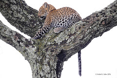 Leopard in tree against white (MyKeyC) Tags: africa tanzania leopard todd