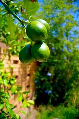 4 lemons growing on a tree (Axemaniac-Art) Tags: green fruit four lemon favescontestwinner a3b storybookwinner favescontestfavored