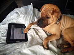 (Jaroslav Petr) Tags: dog czech brno sharpei uploaded:by=flickrmobile flickriosapp:filter=nofilter