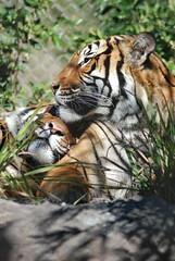 DSC_0346 (SChildersPhotography) Tags: tiger sumatrantiger jacksonvillezoo malayantiger jacksonvillezooandgardens
