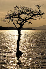 Water Tree (Click And Pray) Tags: sunset tree reflections geotagged golden lochlomond goldenwater treeinwater milarrochybay sunkentree mygearandme mygearandmepremium mygearandmebronze mygearandmesilver geo:lat=56095461903035186 geo:lon=4556051194667816 managedbyclickandpraysflickrmanagrmilarrochybayscotlandgbr