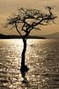 Water Tree (Click And Pray) Tags: sunset tree reflections geotagged golden lochlomond goldenwater treeinwater milarrochybay sunkentree mygearandme mygearandmepremium mygearandmebronze mygearandmesilver geo:lat=56095461903035186 geo:lon=4556051194667816 managedbyclickandpraysflickrmanagrmilarrochybayscotlandgbr