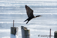 Cormorant in flight-1 (Ian L Winter) Tags: canada nature birds animals newfoundland stjohns countries cormorant greatercormorant doublecreatedcormorant