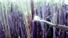 When the grain becomes lavender (cuginAle) Tags: