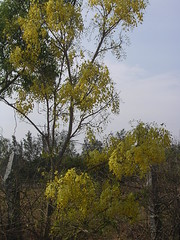 Cassia fistula - Golden shower - Indian laburnum (ಶಾಂತಿ ಧಾಮ - Shānti Dhāma) Tags: flowers trees india leaves bangalore yellowflower karnataka wildflower vishu goldenshower reforestation cassiafistula afforestation hesaraghatta konna indianlaburnum kanikonna shanthidhama indigenousplants flowersofindia treesofbangalore stateflowerofkerala sonnenahalli doddaballapura shantidhama challahalli shantidhamain wwwshantidhamain karlapura chellahalli flowersofbangalore haniyuru haniyoor nationalflowerofthailand letsintegrateforenvironment